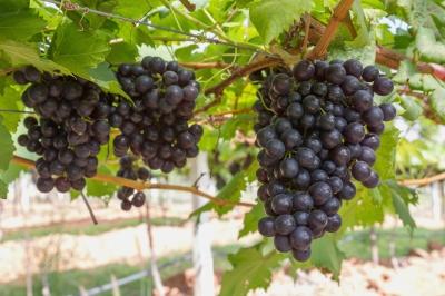 000021 Grapes Mediterranean Diet
