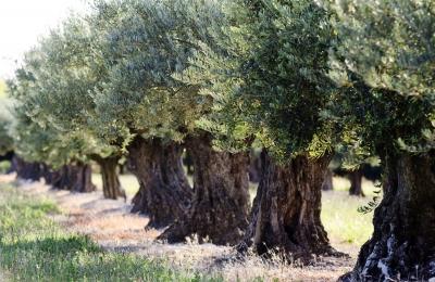 000022 Olive Trees Olive Oil